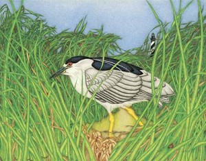 Kim Mosher, Black-Crowned Night Heron, Ltd. Edition Print