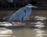 Ron Carney Blue Heron