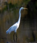 Ron Carney Great Egret